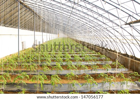tomato Seedling in a green house on a farm, north china - stock photo
