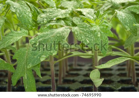 Tomato seedling  pot in closeup - stock photo