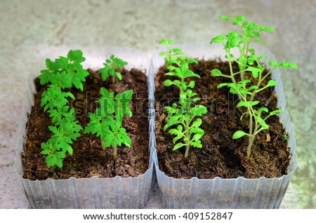 Tomato seedlings in boxes - stock photo