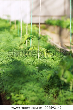 Tomato seedlings in the greenhouse. Close up.                                 - stock photo