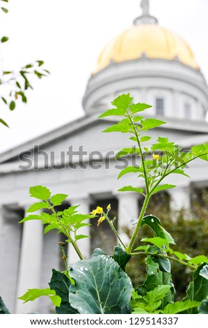 Tomatoes are in full bloom in this community garden on the front lawn of the Vermont State House. - stock photo