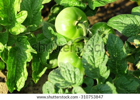 Tomatoes growing in garden - stock photo