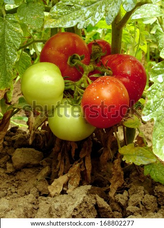 tomatoes sprayed with Bordeaux mixture to protect against fungal infections                                - stock photo