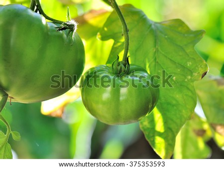 tomatoes unripe among the leaves in garden - stock photo