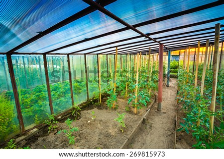 Tomatoes Vegetables Growing In Raised Beds In Vegetable Garden And Hothouse. Tomato Plant - stock photo