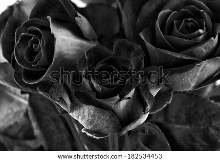 toned high contrast roses closeup - stock photo