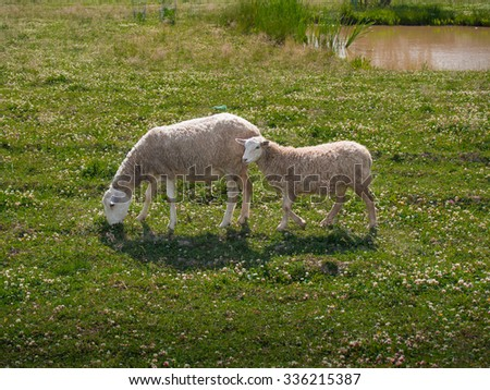 Toned picture of two sheep, adult sheep and lamb, grazing in a field with wild flowers and grass against the background of a pond with reeds - stock photo