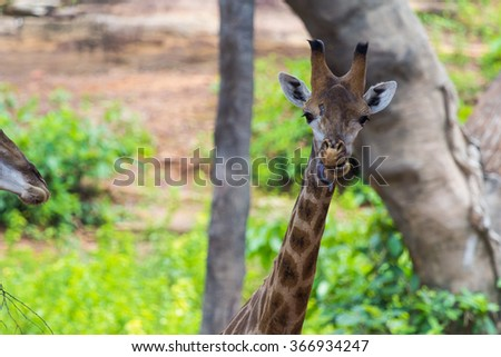 Tongue and Face of Masai giraffe peaks around bush - stock photo