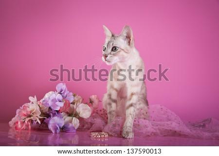 Tonkinese cat - stock photo