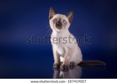 Tonkinese kittens - stock photo