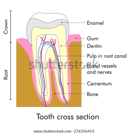 Tooth cross section showing teeth anatomy - stock photo