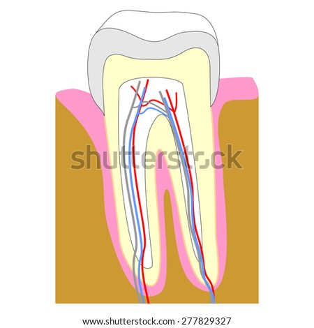Tooth cross section showing teeth anatomy including enamel (grey), gum (pink), dentin (yellow), pulp in root canal (white), bone (brown) - stock photo