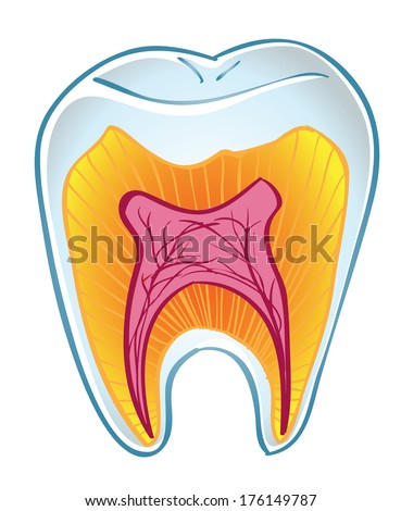 tooth on section isolated on a white background - stock photo