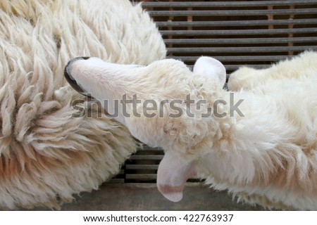 top eye view of sheep in a cage - stock photo