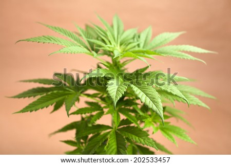 Top of Cannabis female plant, Indica dominant hybrid in early flowering stage. - stock photo