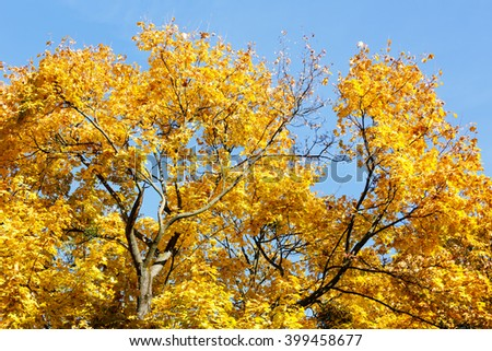 Top of maple tree with yellow autumn leaves on blue sky background. - stock photo