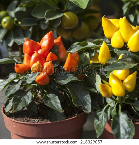 top of orange ornamental capsicum plants in the pot - stock photo