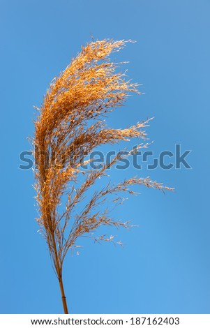 Top of reed stem opposite the crystal clear blue sky - stock photo