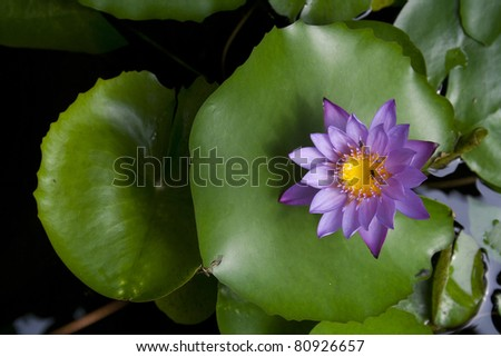Top view of a beautiful purple lotus on lotus leaf - stock photo