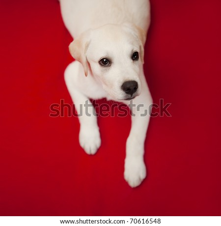 Top view of a labrador retriever puppy lying on the floor - stock photo