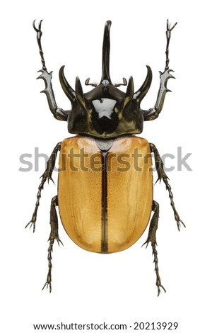 Top view of a large Rhinoceros Beetle (Eupatorus gracillicornis) from the Dynastidae family originating from Thailand - stock photo