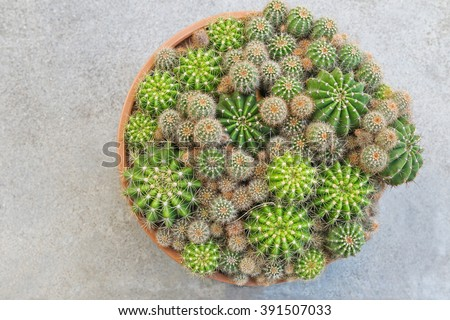 Top view of a pot full of Gymnocalycium Echinopsis calochlora cactus succulent plant with copyspace