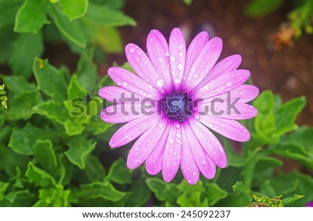 top view of African daisy flower cover with small dew droplets - stock photo
