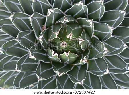 top view of  agave plant  for background and texture - stock photo