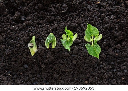 top view of bean seed germination in soil - stock photo