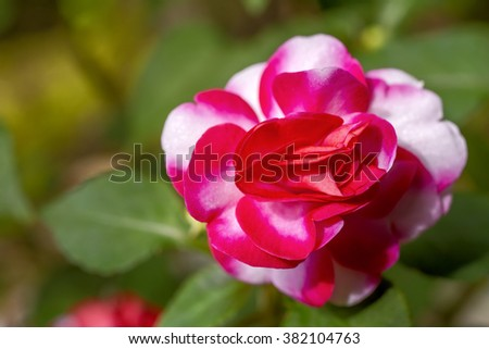 Top view of bright two tone color double impatiens walleriana flowers - stock photo