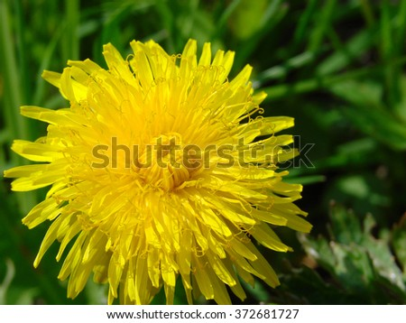 Top view of green grass and dandelion flowers background. - stock photo