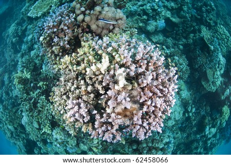 Top view of hard coral with dead and bleached branches. Shaab Ohrob, Southern Red Sea, Egypt. - stock photo