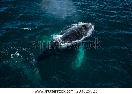 Top view of Humpback whale in Antarctica - stock photo