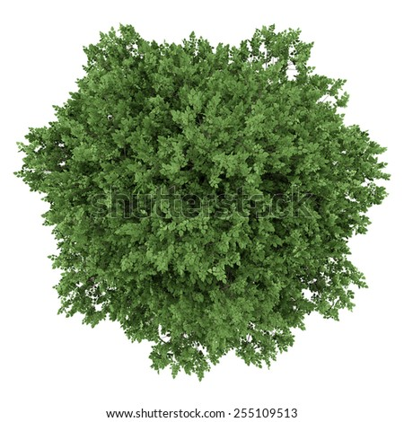 top view of large-leaved lime tree isolated on white background - stock photo