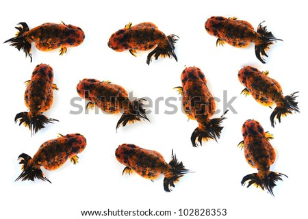 Top view of Lion head golden fish - stock photo