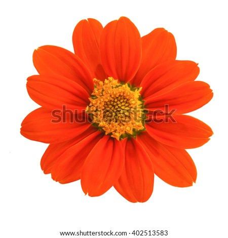 Top view of Mexican sunflower isolated on white background - stock photo