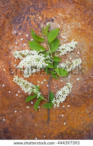 Top view of the beautiful lush blooming branch of bird cherry on a rusty background - stock photo