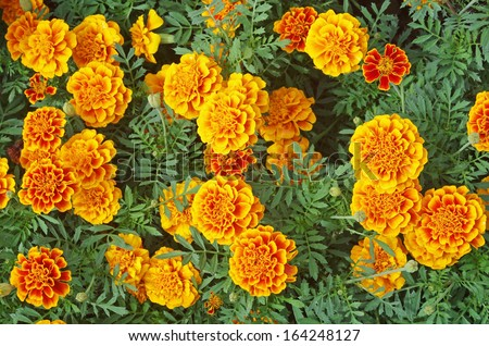 top view of the Marigold flowers planted in the garden - stock photo