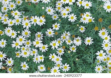 top view of white daisy flowers in the garden - stock photo