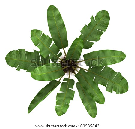 top view of wild banana palm tree isolated on white background - stock photo