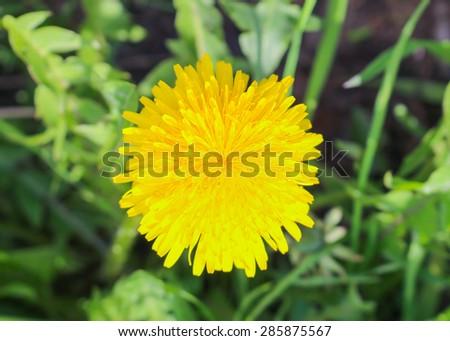 Top view of yellow dandelion flower - stock photo