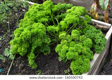 Top view on a big bunch of fresh healthy green parsley in an organic vegetable and herb garden. - stock photo