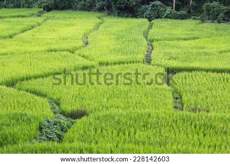 Top view rice field - stock photo