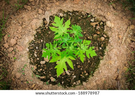 Top view young papaya tree round by soil. - stock photo
