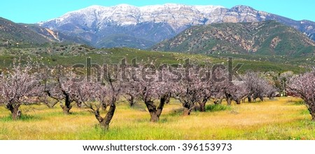 Topa Topa mountain with a field of trees in the foreground. - stock photo