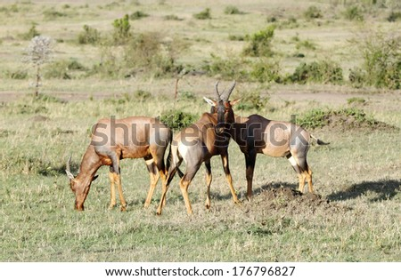 Topi antelopes grazing in savannah - stock photo