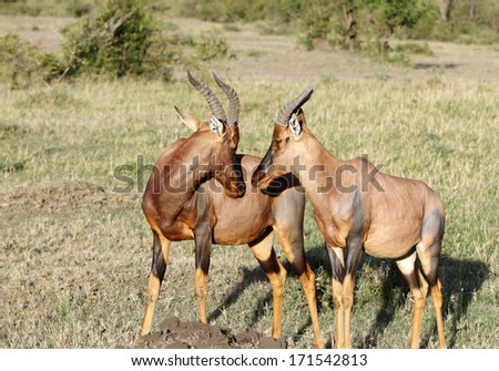 Topi antelopes in courtship - stock photo
