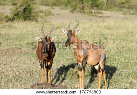 Topi antelopes in Savannah grassland - stock photo