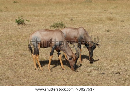 Topi in Masai Mara - stock photo