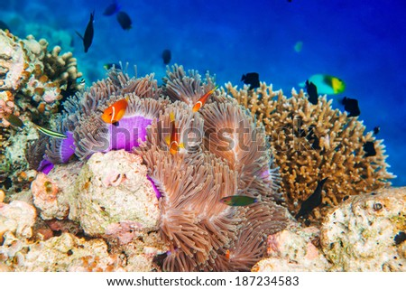 Topical saltwater fish ,clownfish - Coral reef in the Maldives, Anemonefish - stock photo